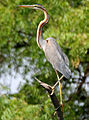 Purple Heron (Ardea purpurea) in Hyderabd W IMG 7556.jpg