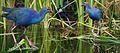 Purple Swamphen From The Crossley ID Guide Eastern Birds.jpg