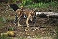Pusat Rehabilitasi Harimau Sumatra di Dharmasraya.jpg