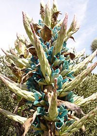 Puya alpestris flowers at the Huntington Desert Garden in San Marino, California.