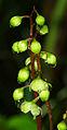 Pyrola rotundifolia - inflorescentium.jpg