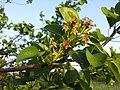 Pyrus pyraster sl33.jpg