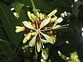Quassia indica - Niepa Bark Tree flowers at Peravoor (2).jpg