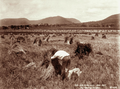 Queensland State Archives 2372 Workers in field harvesting at Yangan 1899.png