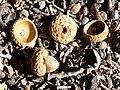Quercus chrysolepis 3.jpg