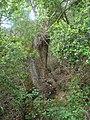 Quercus faginea (quejigo).jpg