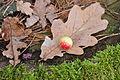 Quercus robur leaf gall.JPG