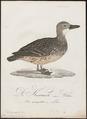 Querquedula circia - 1800-1812 - Print - Iconographia Zoologica - Special Collections University of Amsterdam - UBA01 IZ17600417.tif