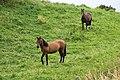 Quinchao – caballos cerca la carretera W-589, 2019.jpg