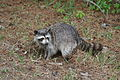 Raccoon at Chincoteague NWR.JPG
