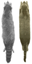 Skins of P. lotor and P. cancrivorus