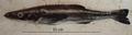 Rachycentron canadum juvenile.png