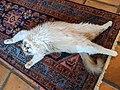 Ragdoll Cat Stretching.jpg