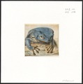 Rana bicolor - 1772 - Print - Iconographia Zoologica - Special Collections University of Amsterdam - UBA01 IZAA100043.tif