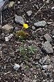 Ranunculus auricomus in Jardin Botanique de l'Aubrac.jpg