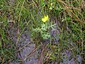 Ranunculus undosus habit13 with young E plana NWP - Flickr - Macleay Grass Man.jpg