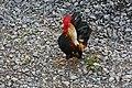 Rassehühner 10.jpg
