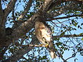 Red-Shouldered Hawk at Everglades National Park.jpg