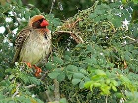 Red-billed Quelea (Quelea quelea) (6041539514)