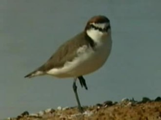 Fichier:Red-capped Plover male.ogv