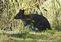 Red-necked Pademelon. Thylogale thetis - Flickr - gailhampshire.jpg