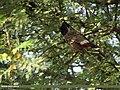 Red-vented Bulbul (Pycnonotus cafer) (15894031875).jpg