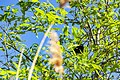 Red-winged blackbird (41446165275).jpg
