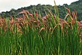 Red Rice Paddy field in Japan 001.jpg