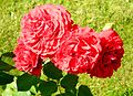 Red Rose flowers 08.jpg