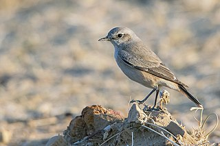 Red-tailed wheatear species of bird