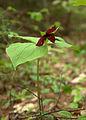 Red Trillium Flower.jpg