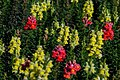 Red and Yellow Snapdragon Blooms PLT-FN-SD-5.jpg