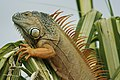 Red green iguana.jpg