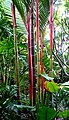 Red sealing wax palm (Singapore).jpg