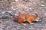 Red squerell in gomel park.jpg