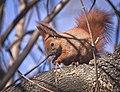 Red squirrel (49668873672).jpg