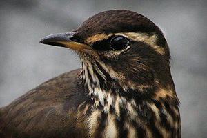 A picture of a Redwing Turdus iliacus I took i...