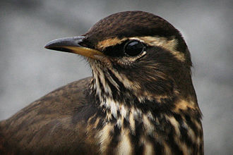 Redwing - Head of T. i. coburni in Iceland
