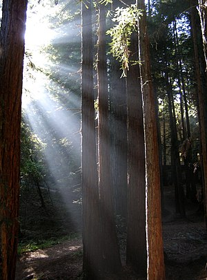 Sunlight shining through Redwoods at UCSC