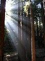 Redwoods, ucsc.jpg