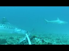 Archivo:Reef-Fidelity-and-Migration-of-Tiger-Sharks-Galeocerdo-cuvier-across-the-Coral-Sea-pone.0083249.s002.ogv