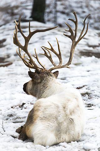Reindeer Antlers Contrasted Against the Snow (24165335876).jpg