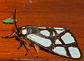 Reticulate Bagnet (Anaphe reticulata) (12680246673).jpg