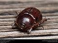 Rhinoceros beetle (Scarabaeidae, Dynastinae) (30080044115).jpg