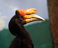 Rhinoceros hornbill national aviary