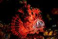 Rhinopias scorpionfish.jpg