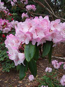 Rhododendron Principis Wikipedia