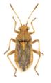 Rhopalus parumpunctatus 1.png
