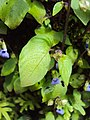 Rhynchoglossum obliquum 05.JPG