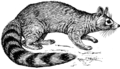 Ringtail Cat (PSF).png